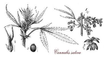 marijuana timeline