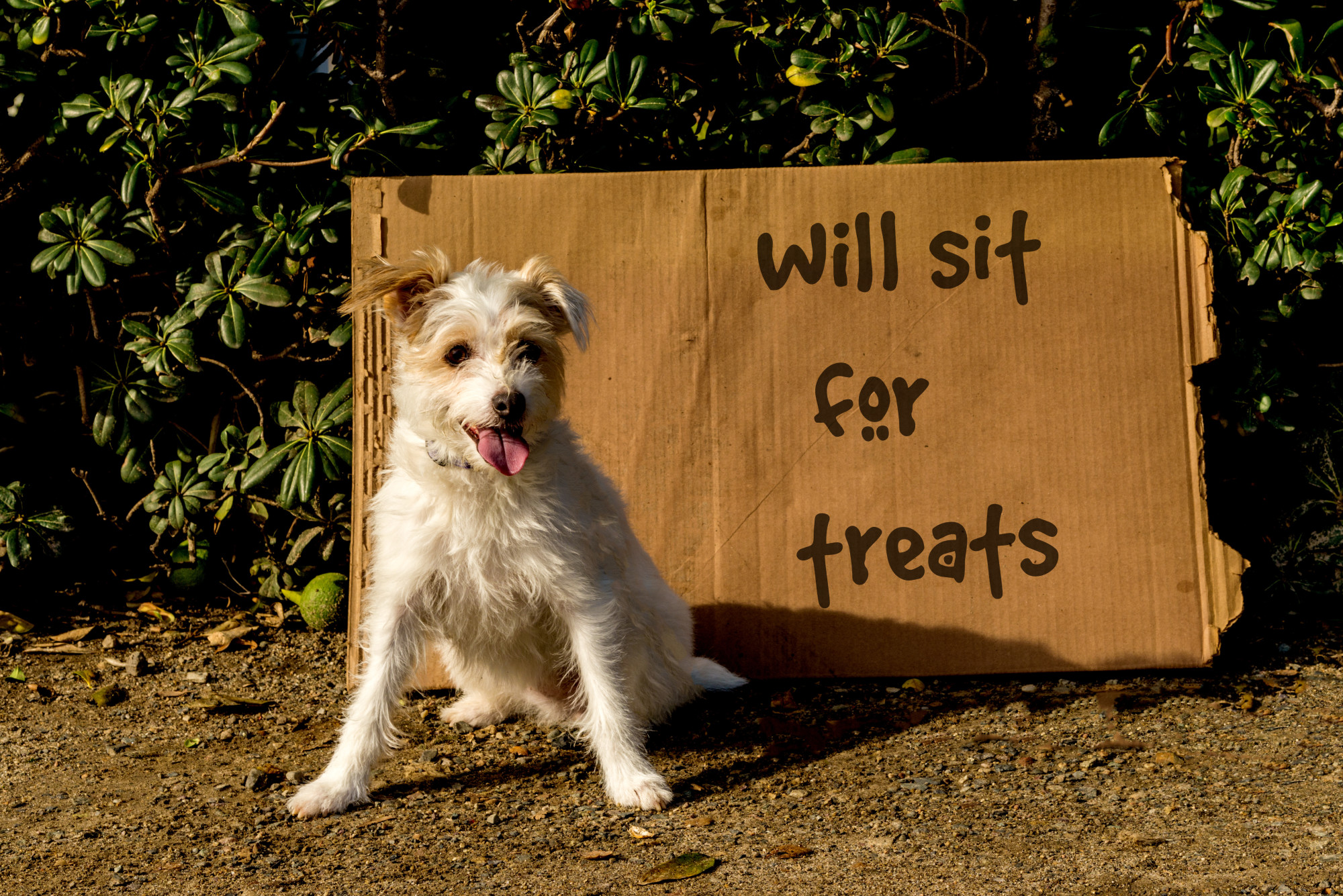 Homeless Jack Russell terrier dog with cardboard sign that says will sit for treats.